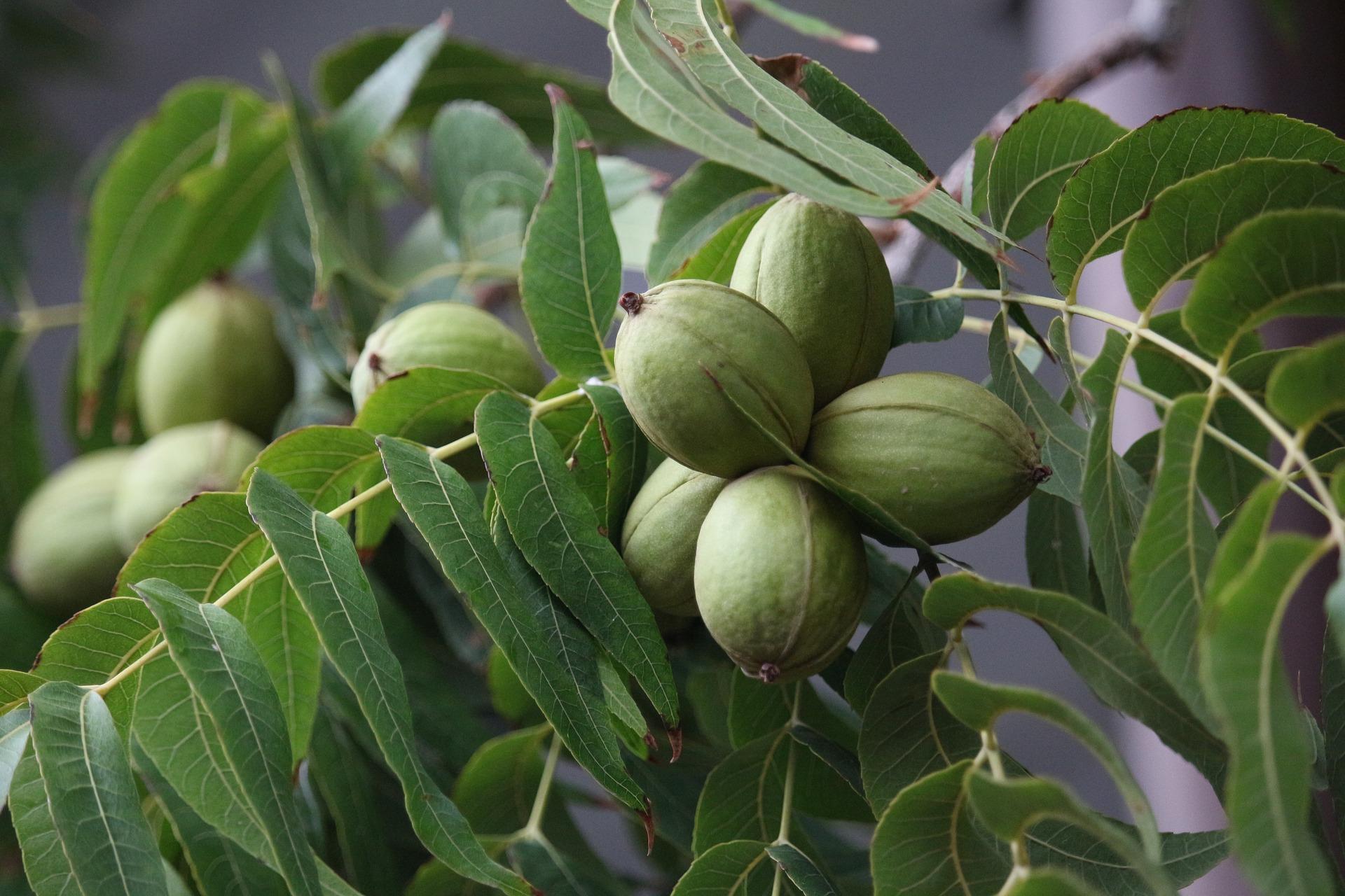 Pekaanipähkinä on pekaanihikkori-nimisen puun pähkinä